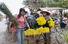 Hà Nội: Vựa hoa Mê Linh mất mùa nhưng được giá
