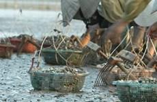 Hải Phòng: Ngao nuôi bị chết hàng loạt ở Cát Hải