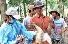 Xuất hiện cúm gia cầm tại một thôn ở Quảng Nam