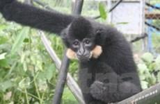 Bảo tồn loài vượn đen má vàng tại VQG Bù Gia Mập