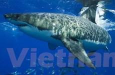 Hơn một triệu con cá mập bị giết hại hàng năm