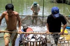 Giá cá tra tăng mạnh, người nuôi Tiền Giang lãi lớn