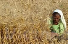 Giá lúa mỳ đã chạm mức cao nhất trong 28 tháng