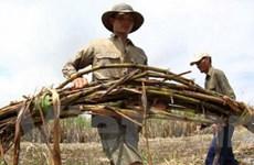 Người dân chịu cảnh mía héo úa, lúa mọc mầm vì lũ