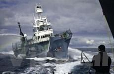 Tàu săn cá voi của Nhật bị bắt quả tang ở Nam Cực