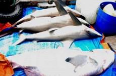 Quảng Ngãi: Ngư dân Nghĩa An trúng đậm cá mập