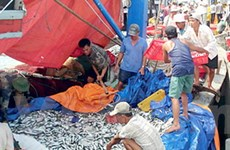 Ngư dân tỉnh Thừa Thiên-Huế trúng đậm cá nục gai
