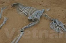 Phát hiện hóa thạch gấu túi lớn nhất tại Australia