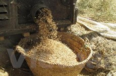 Sản lượng ngũ cốc toàn cầu sẽ đạt mức cao kỷ lục