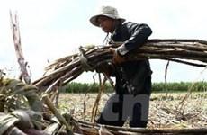 Giá thu mua mía ở Hậu Giang sẽ giảm thời gian tới