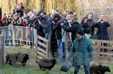 Cừu trở thành những chiếc máy xén cỏ dễ thương