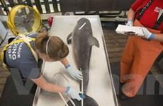 Virus sởi có thể là nguyên nhân cá heo chết ở Mỹ