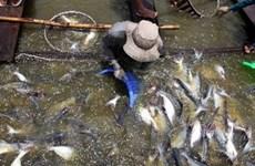 ĐBSCL tạo chuyển biến trong sản xuất, tiêu thụ cá tra