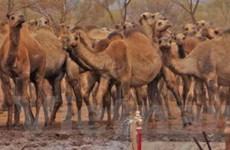 """Lạc đà """"khát nước"""" bao vây ngôi làng ở Australia"""