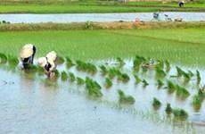 Gần 300.000ha đất cấy lúa đông xuân đã có nước