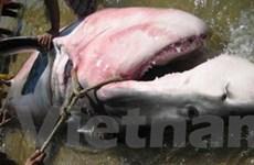 Ngư dân Phú Yên bắt được cá mập nặng 1 tấn