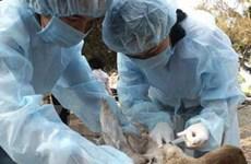 Nguy cơ cao lây lan dịch cúm gia cầm dịp Tết
