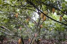 Tổ chức của Mỹ giúp Bình Phước phát triển cacao