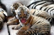 TQ sẽ đưa hổ nuôi Siberia về môi trường hoang dã