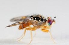 Phát hiện cơ chế chống vô sinh từ ruồi giấm đực