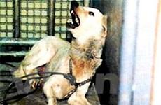 Indonesia sẽ tiêm phòng dại cho chó ở đảo Bali