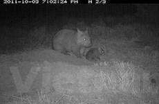 Australia bảo tồn gấu túi mũi lông phương Bắc
