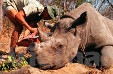 Số tê giác bị săn trộm tại Nam Phi lên con số kỷ lục