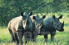 Nam Phi có sáng kiến mới chống săn bắn tê giác