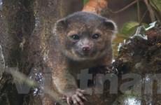 Tìm ra loài động vật có vú mới ở vùng rừng Nam Mỹ