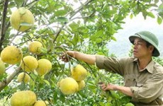 Người trồng lãi lớn nhờ bưởi Đoan Hùng được giá