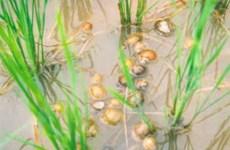 Bùng phát việc mua ốc bươu vàng bán cho Trung Quốc