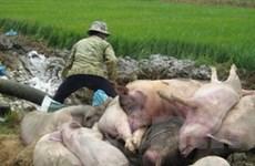 Bùng phát dịch lở mồm long móng tại Quảng Đông