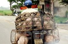 Cấm vận chuyển lợn qua các vùng có dịch tai xanh