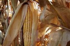 Các mối đe dọa với nguồn cung lương thực thế giới