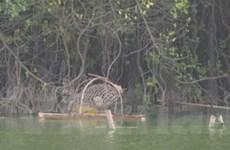 Bắt đầu triển khai đặt bẫy rùa tai đỏ ở Hồ Gươm