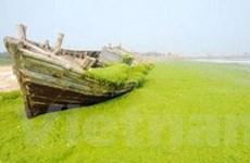 Dải tảo xanh khổng lồ tấn công biển Trung Quốc