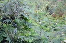 TT-Huế: Cây mai dương xâm lấn hàng trăm ha đất