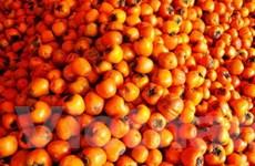 Đà Lạt: Đặc sản trái hồng liên tục bị rớt giá mạnh