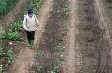 Người trồng đào Hà Nội phấp phỏng ngóng thời tiết