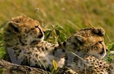 Cặp báo đốm Nam Phi tới Malawi bảo tồn nòi giống