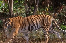 Malaysia chi hơn 56 triệu USD xây cầu bảo vệ hổ