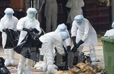 Mexico ban bố tình trạng khẩn cấp do cúm gia cầm