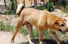 Yên Bái: 3 người tử vong trong 1 tuần vì chó dại cắn