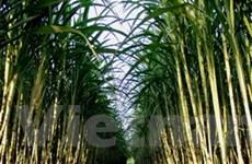 Cuba: Sản lượng đường năm 2012 dự kiến tăng 20%