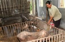 Chưa có vắcxin phòng bệnh liên cầu khuẩn trên lợn