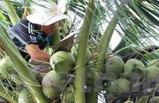 """Trái dừa trở lại """"thời hoàng kim,"""" nông dân phấn khởi"""