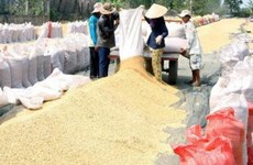 Năng suất vụ lúa Đông Xuân ở miền Nam đạt khá