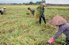 Thái Bình: Nông dân liên tiếp trúng mùa lúa Xuân