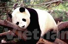 Hong Kong khởi động tour du lịch bảo tồn gấu trúc