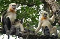 Voọc mũi hếch ở Khau Ca phát triển lên trăm cá thể